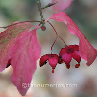 http://www.thenurseries.com/euonymus-europaeus-wings-litre-p-1338.html
