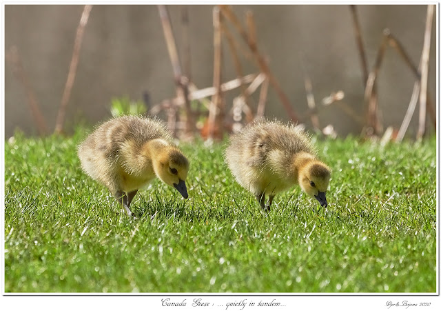 Canada Geese: ... quietly in tandem...