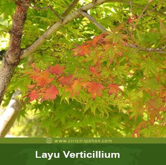 ciri ciri pohon maple layu verticilium