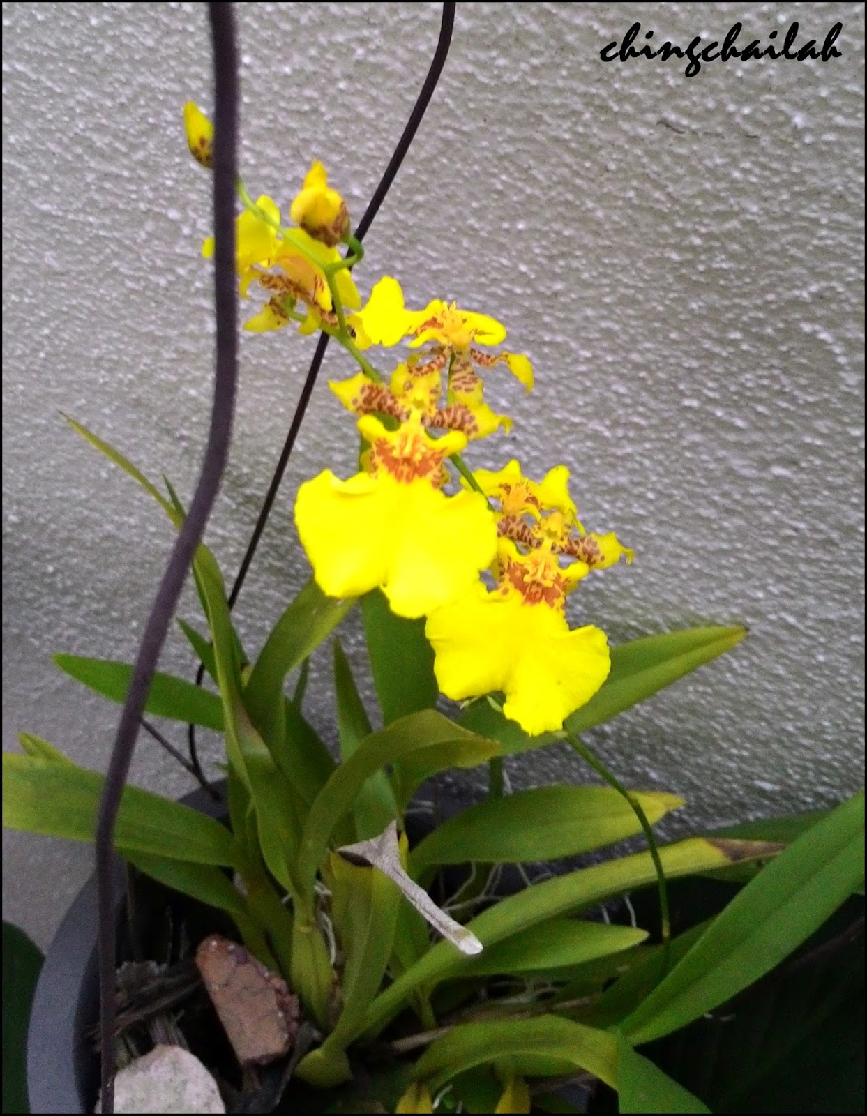 Simple Living In Nancy Yellow Dancing Ladies Orchid Cup Of Gold