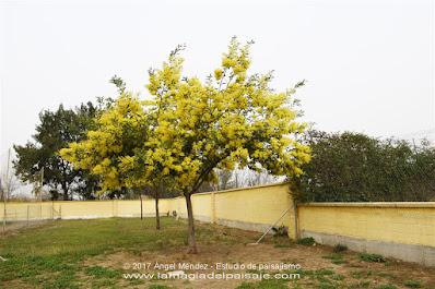 Acacia dealbata, mimosa, árboles con flores, plantas invasivas
