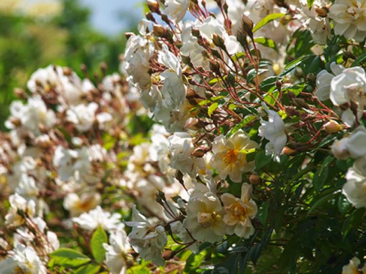 Overdådig blomstring på rosen Lykkefund