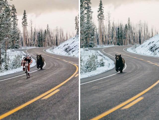 Pengendara Sepeda Di Kejar Beruang