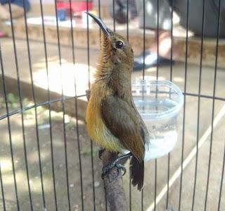 cara merawat kolibri ninja/konin trotol agar gacor dan tidak mati