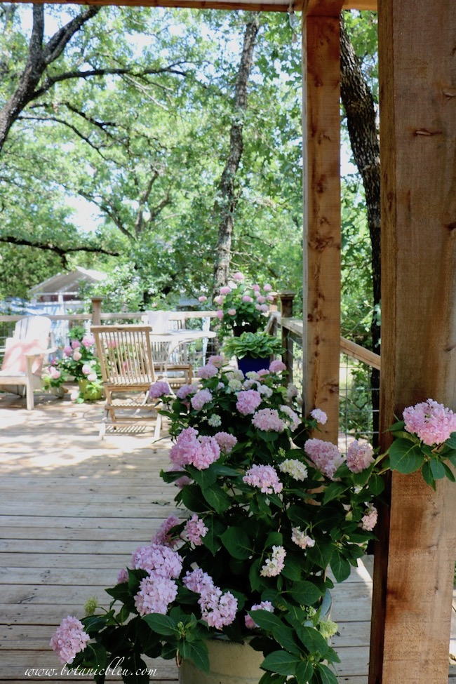 Nantucket Blue Hydrangeas in Containers on Shady Deck