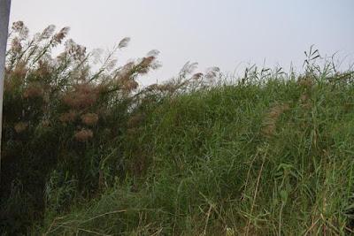 Kans grasses at Baikka Beel