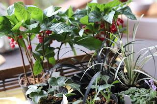 カゴに入った山野草盆栽の教材(ヤブコウジ、ユキワリソウ、コクリュウなど)