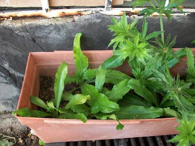 RECAO  (Eryngium foetidum)