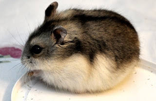 Hamster Campbell dan Harganya | Jenis, Ciri, dan Cara Merawat