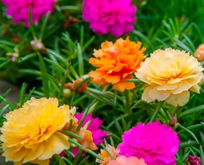 Портулак – удивительный коврик из разноцветных цветов