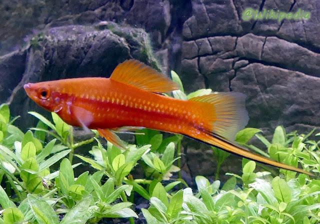 Ikan Pedang Xiphophorus hellerii (Swordtail Fish)