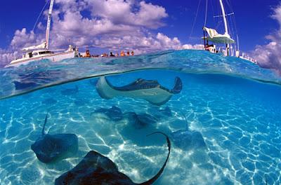Raies manta sous la mer aux île Caïmans, lors d'une excursion.