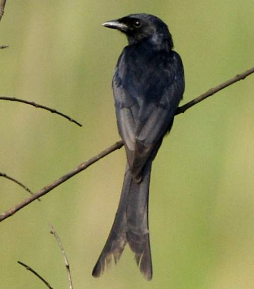 Indian birds - Image of Black drongo - Dicrurus macrocercus
