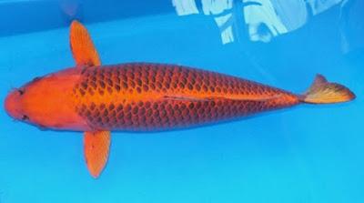 Ikan Koi Kawarimono