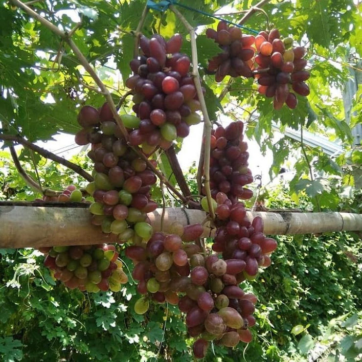 bibit anggur import akademik Sumatra Selatan