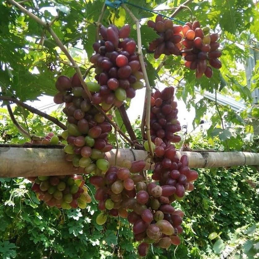 bibit anggur import akademik Bali