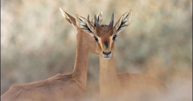 Picture of two deer of Israel