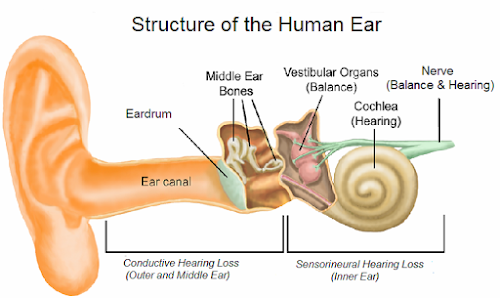 Hearing loss exists when there is diminished sensitivity to the sounds normally heard