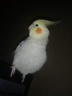 معلومات عن طائر الكوكتيل الكروان ( Calopsitte )