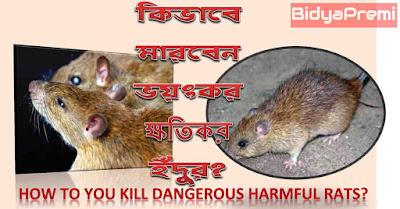 ইঁদুর মারার পদ্ধতি? How to kill rats