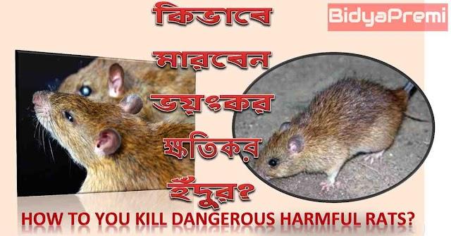 কিভাবে ইঁদুর মারবেন ? How to kill rats?
