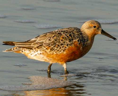 Bird World - Red knot - Calidris canutus