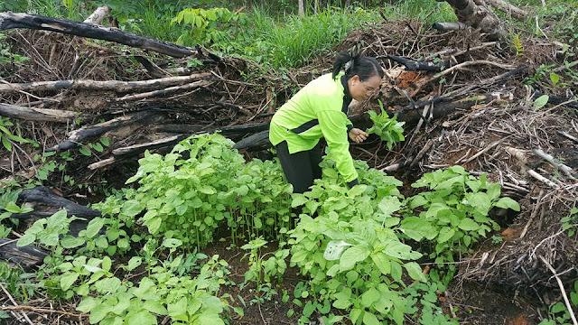 Ketua PKK Kabupaten Kristina sedang memanen bayam hijau yang ditanam oleh TP-PKK Kabupaten Sekadau