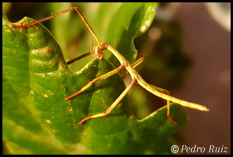 Ninfa L1 de Paracyphocrania major,  2,5 cm de longitud
