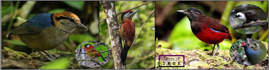 Birdwatching in Aceh, Birding in Sumatra, Birding in Indonesia