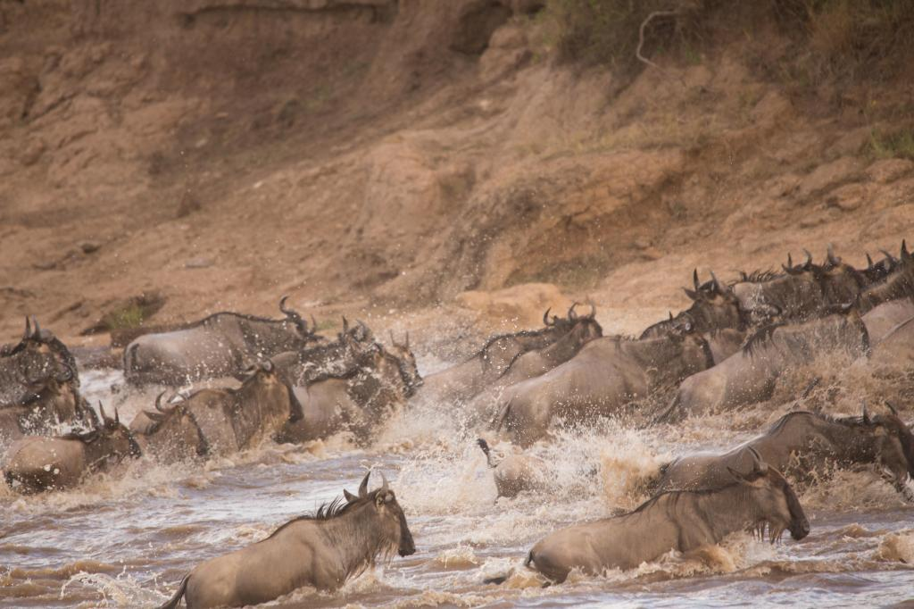 Wildebeest crossing Mara river during the great migration.