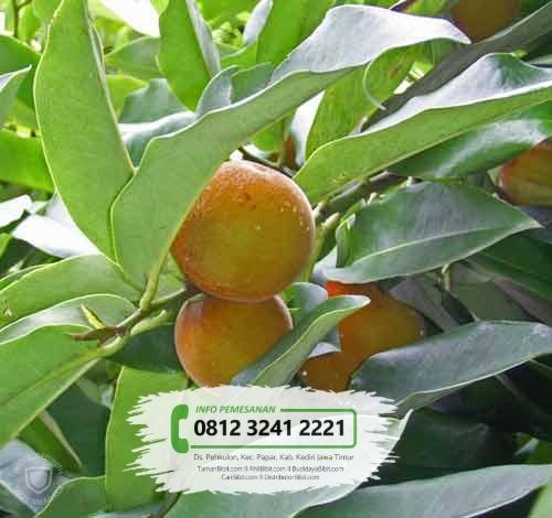 Jual Bibit Pohon Mentega / Bisbul