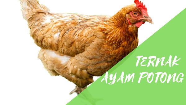 Panduan Ternak Ayam Potong Untuk Pemula