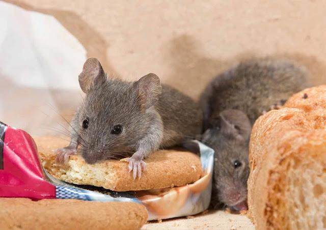Penyakit yang Disebabkan Oleh Tikus