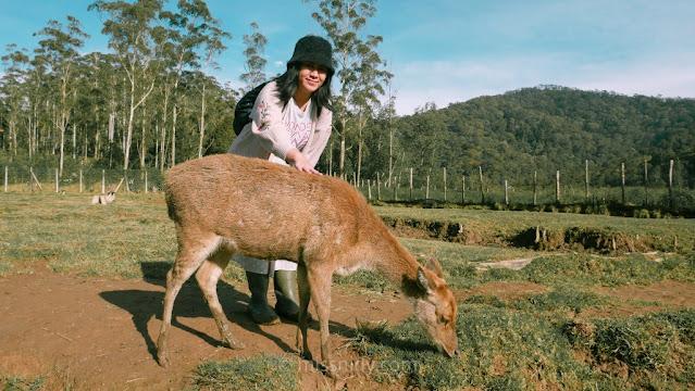 tips foto dengan rusa di rancaupas bandung