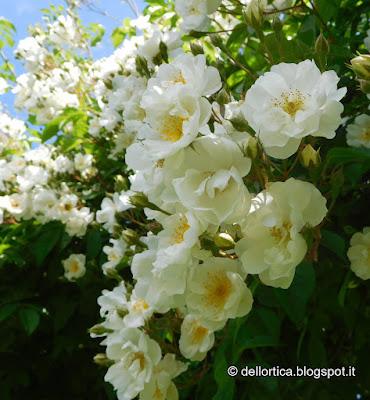 rosa del roseto del giardino della fattoria didattica dell ortica a Savigno Valsamoggia Bologna vicino Zocca nell appennino