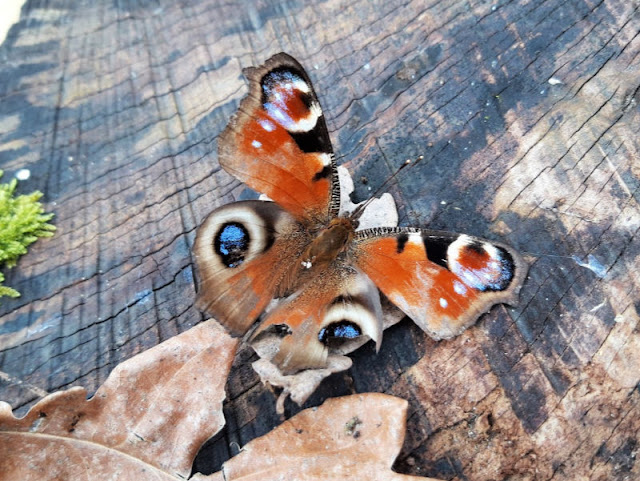 Image shows the same peacock butterfly on another log.  It has opened it's wings to the sunshine and you can see the markings on them.