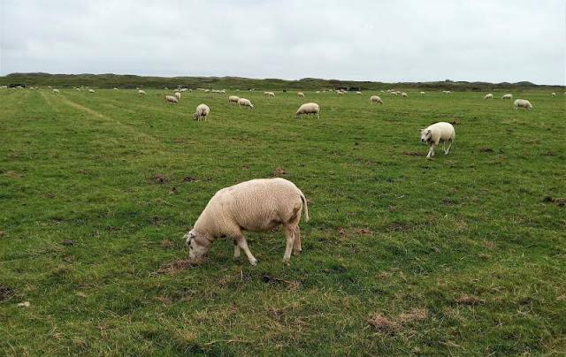 pecore al pascolo a texel