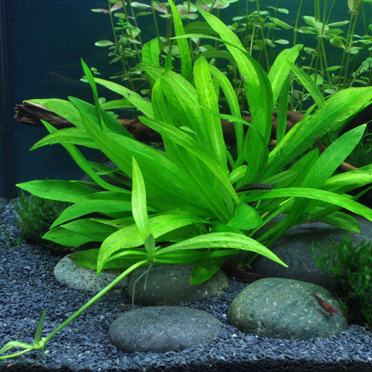 Vẻ đẹp của cây thủy sinh hoàng quang thảo