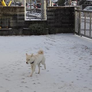 うっすらと雪が積もった庭を歩き回る白柴チロ