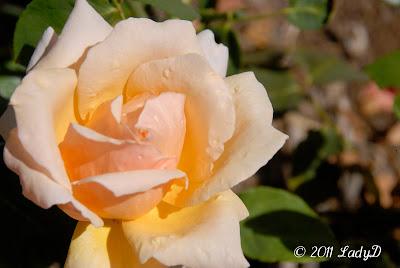 LadyD Books: Peach Cream Rose