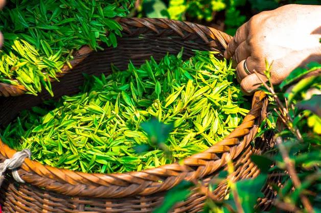 Healthy Chinese Green Tea Leaf