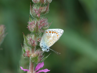 Common blue butterfly roosting on purple loosestrife