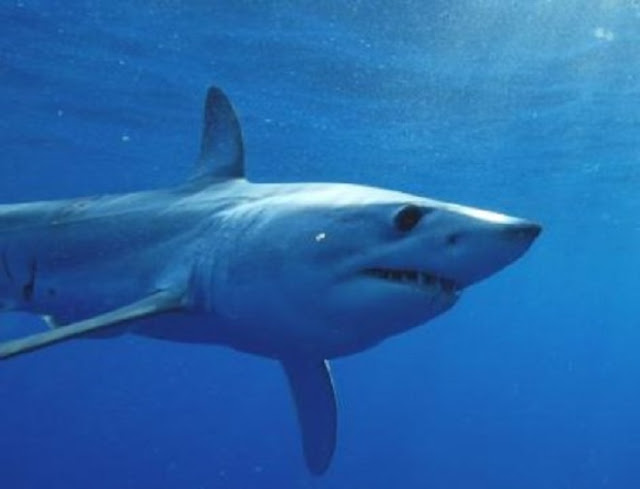 The ocean's fastest shark is being threatened by over fishing