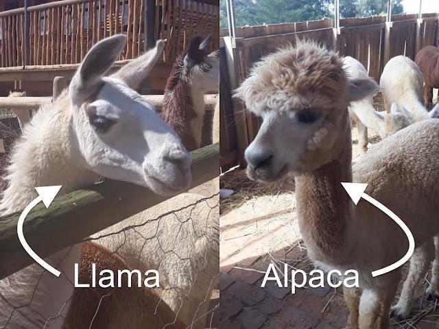 Llama vs. Alpaca