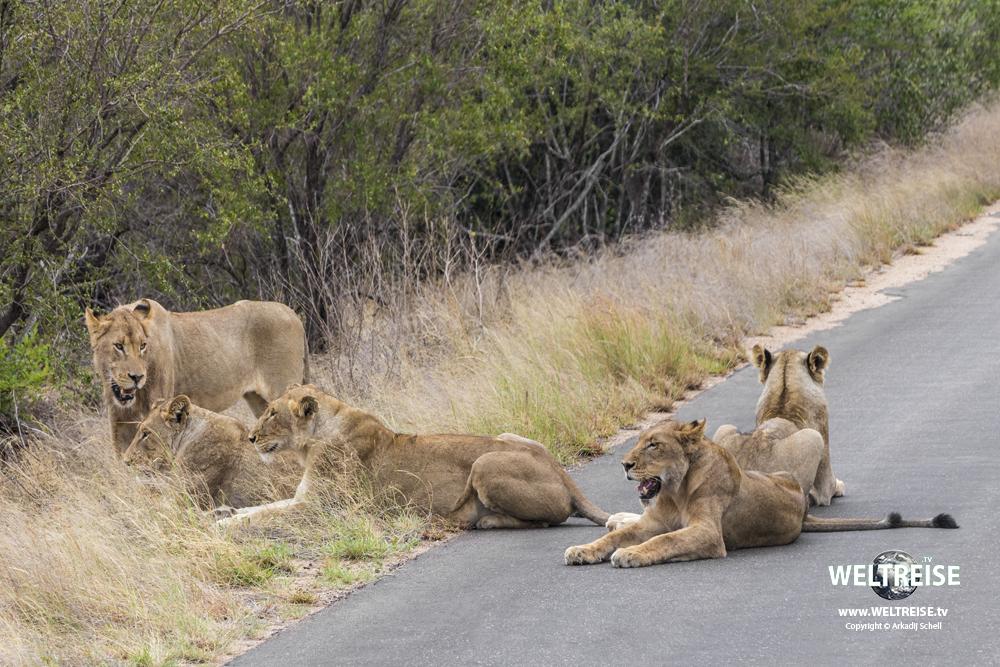Löwen im Kruger Nationalpark auf Safari in Südafrika. WELTEREISE. WELTREISE.tv