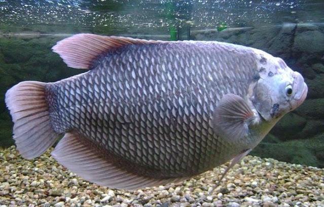 Supplier Jual Ikan Gurame Bibit & Konsumsi Kendari, Sulawesi Tenggara Paling Dicari