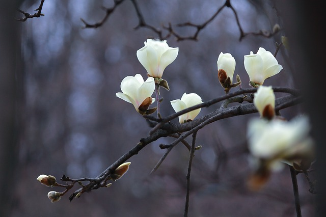 cay hoa moc lan