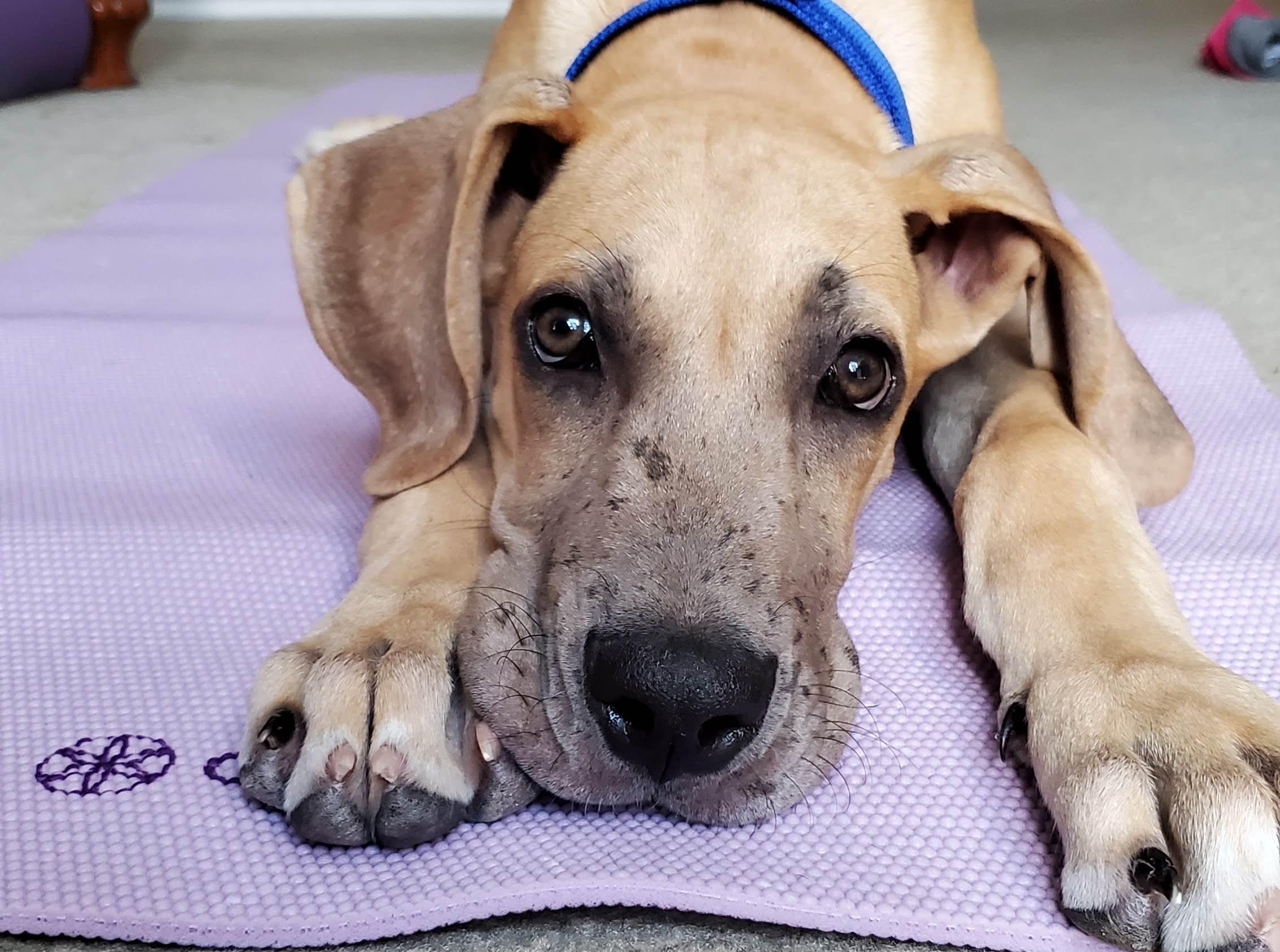 Rocco the Dane Pup