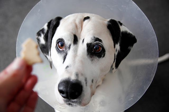 Dalmatian dog in a cone begging for a dog treat