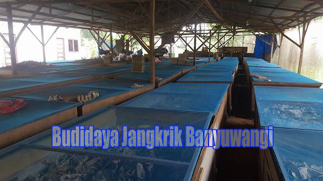 Peluang Usaha Ternak Jangkrik  di Banyuwangi Order WA 0858-5314-7511 Peluang Usaha Ternak Jangkrik di Banyuwangi Yang Menguntungkan